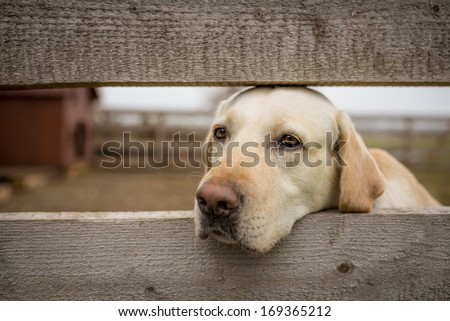 Yellow labrador retriever behind wooden fence - stock photo