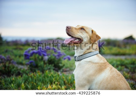 Yellow Labrador Retriever dog in field of purple flowers with sky and ocean - stock photo