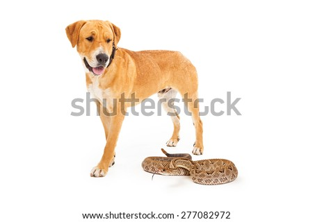 Yellow Labrador Retriever dog walking forward and looking down at a dangerous rattlesnake  - stock photo
