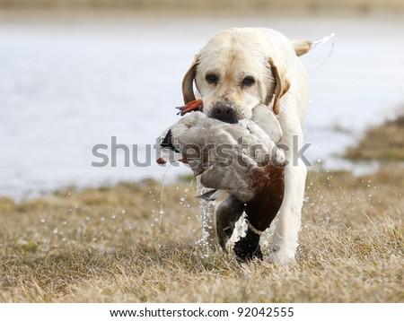 Yellow Labrador Retriever hunting duck - stock photo