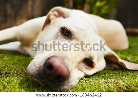 Yellow labrador retriever is lying on the grass - selective focus - stock photo
