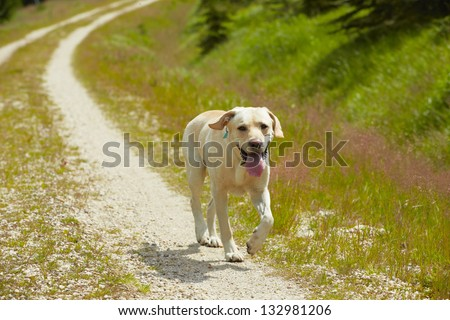 Yellow labrador retriever is running on the road. - stock photo