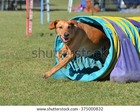 Yellow Labrador Retriever Leaving a Tunnel at a Dog Agility Trial - stock photo
