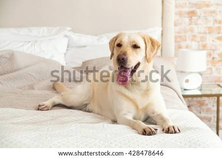 Yellow labrador, retriever lying on the bed. Dog breed Labrador lies on a bed in the room. The dog lives in the house. Morning, dog. - stock photo