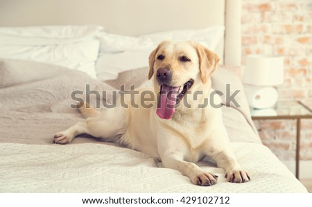 Yellow labrador, retriever lying on the bed. Dog breed Labrador lies on a bed in the room. The dog lives in the house. Morning, dog. Pets - stock photo