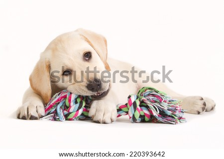 Yellow labrador retriever puppy biting in a colored dog toy isolated on white - stock photo