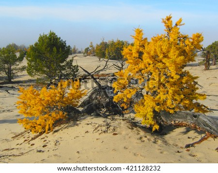 Yellow larch in the sand near lake Baikal - stock photo