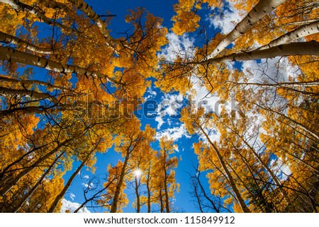 Yellow leaves aspens with blue sky - stock photo