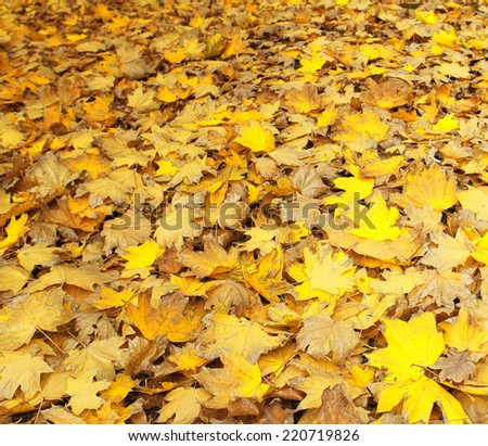 Yellow leaves, autumn maple. as background