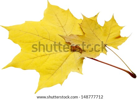 yellow leaves isolated on a white background - stock photo