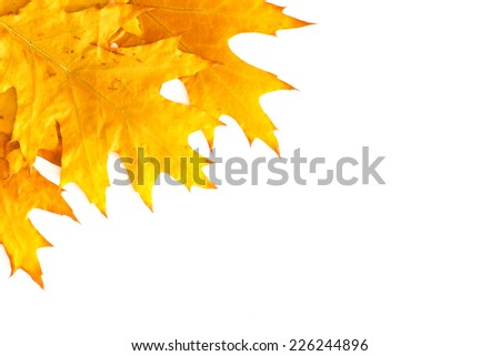 Yellow leaves isolated on white/ Yellow leaves isolated on white
