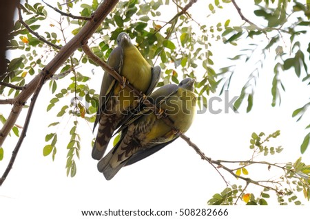 Yellow Legged Green Pigeon or Yellow Footed Green Pigeon Perched