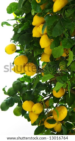 Yellow lemons on tree.