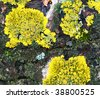 Yellow lichen on bark can use as nature background - stock photo