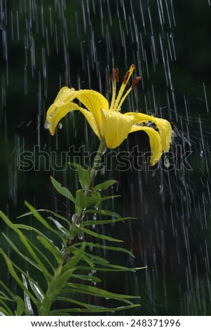 Yellow Lily being rained on against a black background. - stock photo