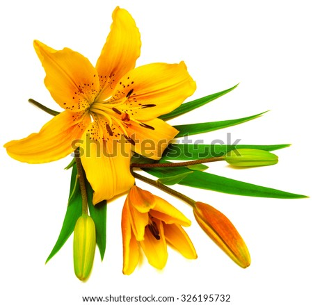 yellow lily flower buds isolated on stock photo, Beautiful flower