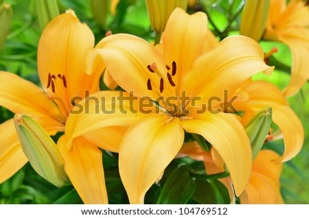 Yellow lily flowers in the garden, Lilium - stock photo