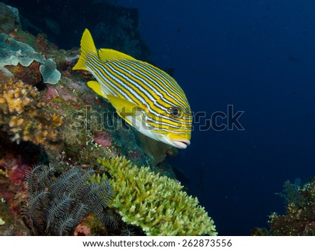Yellow Lined Sweetlips hovers in mild current over the wreck of the USAT Liberty - stock photo