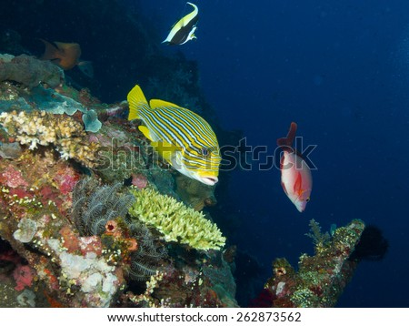 Yellow Lined Sweetlips hovers in mild current over the wreck of the USAT Liberty with a moorish idol and a red snapper in the background. - stock photo
