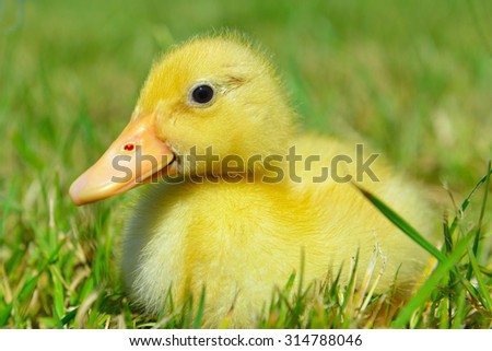 yellow little duck