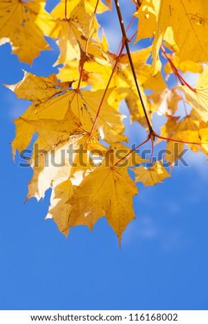 Yellow maple foliage on brunch on blue sky background - stock photo