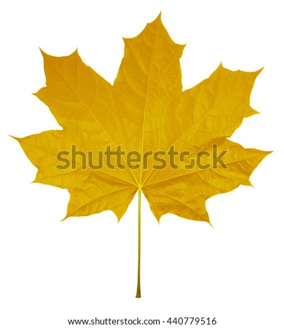 Yellow Maple Leaf isolated on white background. Clipping path included. - stock photo