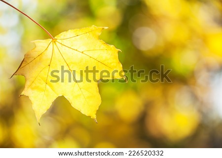 Yellow maple leaf on  autumn blurred background. - stock photo