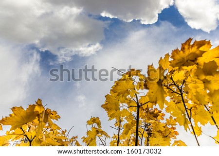 Yellow maple leaves blowing in the wind on a sunny autumn day - stock photo