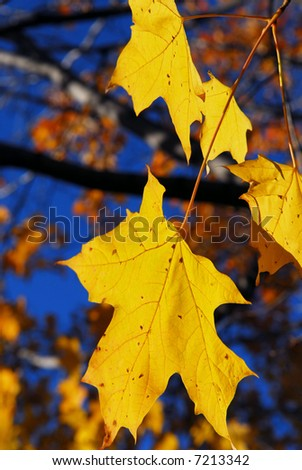 Yellow maple leaves in a fall park, close up