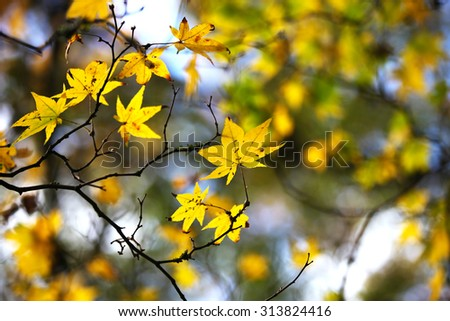 Yellow maple leaves in fall - stock photo