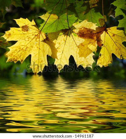 Yellow maple leaves with a reflection in water - stock photo