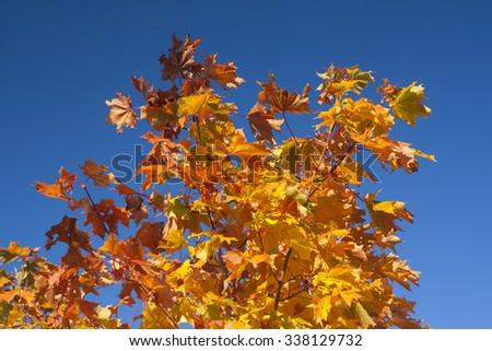 Yellow maple on a blue sky  background - stock photo