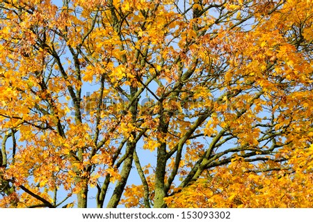 Yellow Maple Tree in Autumn
