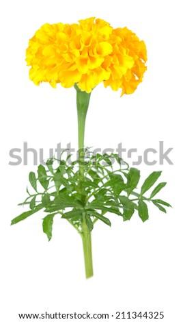 Yellow marigold flower isolated on white stock photo royalty free yellow marigold flower isolated on white background mightylinksfo