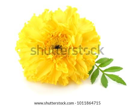 Yellow marigold flower tagetes erecta mexican stock photo 100 yellow marigold flower tagetes erecta mexican stock photo 100 legal protection 1011864715 shutterstock mightylinksfo