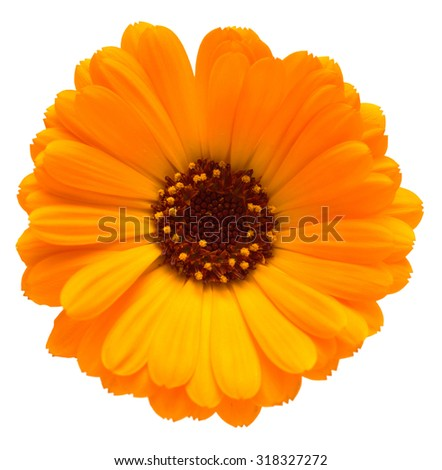 yellow marigold flowers on a white background - stock photo