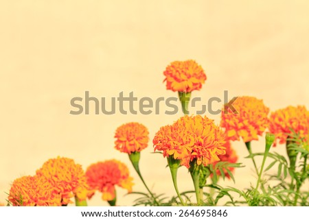 Yellow Marigold Flowers on yellow background