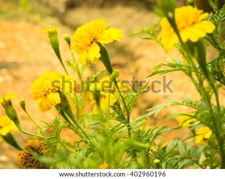 yellow marigold Focus flower front - stock photo