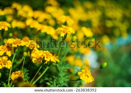 Yellow marigold in flowerbed in summer city park. - stock photo