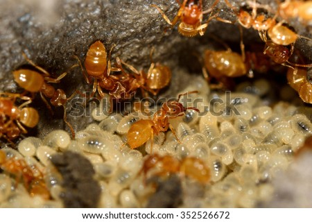 Yellow meadow ants (Lasius flavus) tending larvae Workers move to relocate larvae after a nest is disturbed