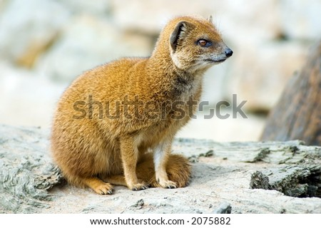 Yellow mongoose (Cinyctis penicillata)