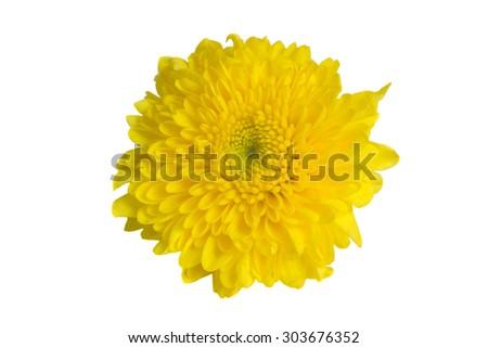 Yellow Mum flower isolated on white background - stock photo