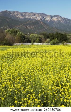 Yellow mustard and Topa Topa mountains in spring, upper Ojai, California, USA, 04.26.2014 - stock photo