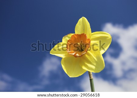 Yellow narcissus flower against a blue sky with white clouds in spring