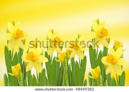 Yellow narcissus flowers. - stock photo