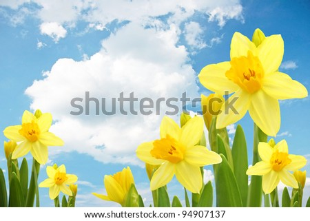 Yellow narcissus flowers in the blue sky and white clouds.