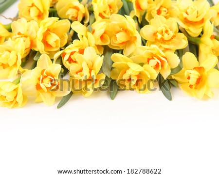 yellow narcissus isolated on white background - stock photo