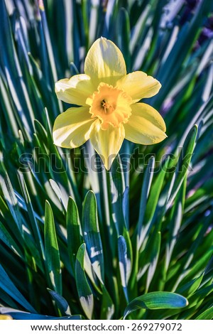 yellow narcissuses in beams of the setting sun - stock photo