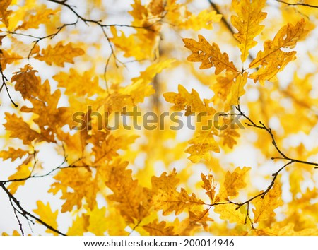 Yellow oak leaves in fall season. - stock photo
