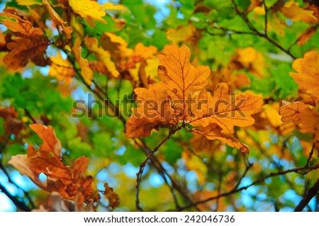 Yellow oak leaves on a branch in a sunny day - stock photo